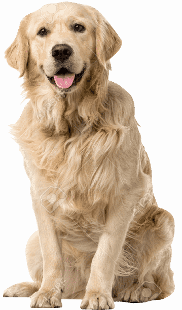 42671458-Golden-Retriever-sitting-in-front-of-a-white-background-Stock-Photo-1